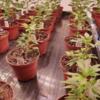 Kannabia Seeds White Domina 3 Wochen alt