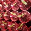 Seed Stockers Purple Punch 1 Woche alt