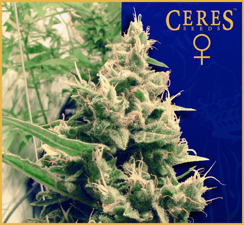Hollands Hope / FEM 10er / Ceres Seeds