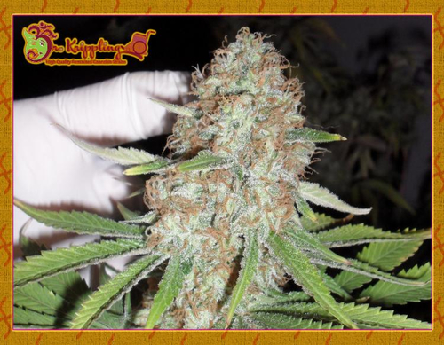Blue Kripple / FEM 10er / Dr Krippling Seeds
