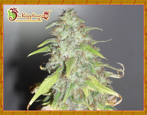 Kripple Shock / FEM 10er / Dr Krippling Seeds