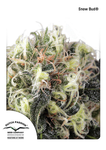 Snow Bud / FEM 10er / Dutch Passion