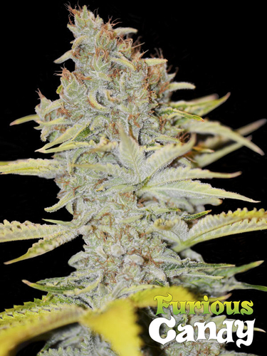 Furious Candy / FEM 3er / Eva Seeds