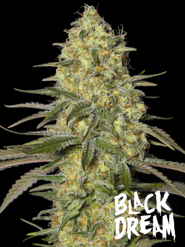 Black Dream / FEM 3er / Eva Seeds