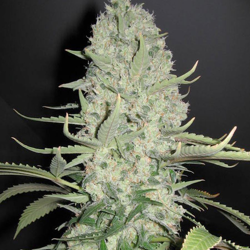 White Widow x Big Bud / FEM 4er / Female Seeds