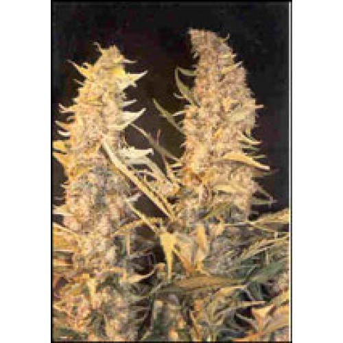 Skunk Special / FEM 4er / Female Seeds