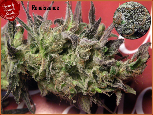 Renaissance / REG 6er / French Touch Seeds