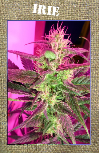 Irie / REG 11er / French Touch Seeds
