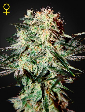 Arjans Strawberry Haze / FEM 3er / Greenhouse Seed Co.