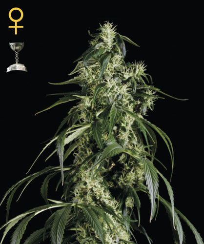 Arjans Haze #1 / FEM 10er / Greenhouse Seed Co.