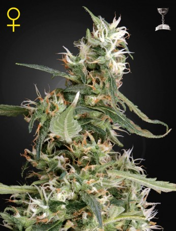 Arjans Ultra Haze #1 / FEM 10er / Greenhouse Seed Co.