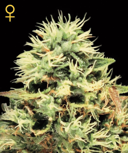 Super Bud / FEM 10er / Greenhouse Seed Co.
