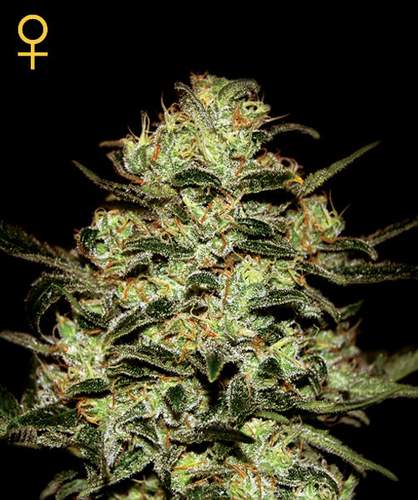 Moby Dick / FEM 10er / Greenhouse Seed Co.
