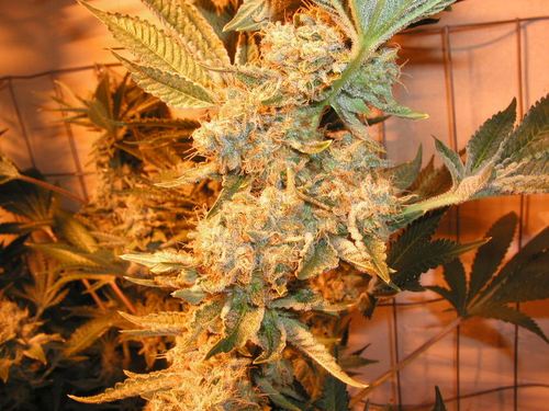 Dr Greenthumbs Em-Dog / FEM 10er / Humboldt Seeds
