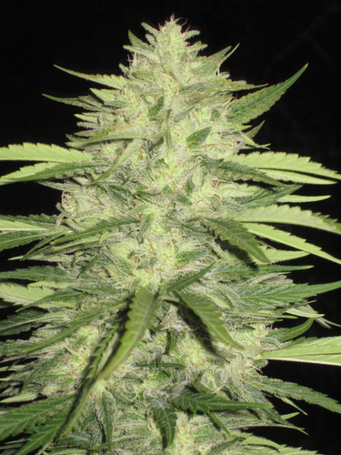 Skins Skunk / REG 5er / Loud Seeds