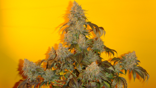 Old Time Indiana Bubble Gum / REG 10er / Mosca Seeds
