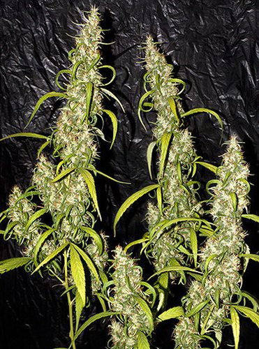 Nevilles Haze / REG 18er / Mr. Nice Seedbank