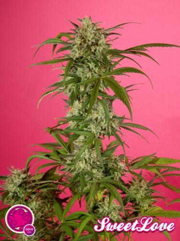 SweetLove / FEM 3er / Philosopher Seeds