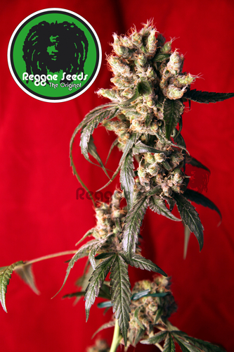 Roots / REG 15er / Reggae Seeds