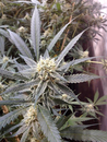 Strawberry Banana  / FEM 6er / Reserva Privada