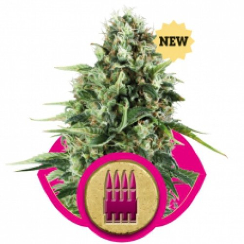 Royal AK / FEM 10er / Royal Queen Seeds