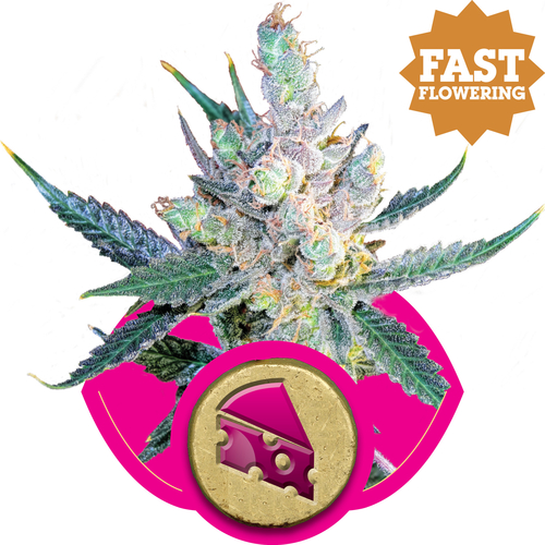Royal Cheese FAST Version / FEM 5er / Royal Queen Seeds