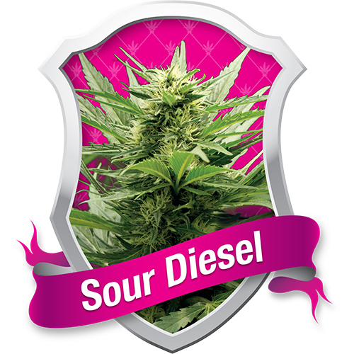 Sour Diesel / FEM 3er / Royal Queen Seeds