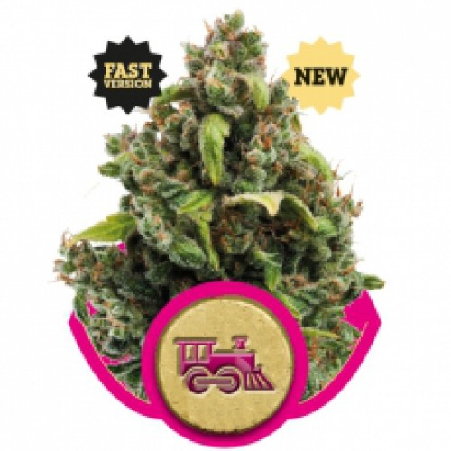 Candy Kush Express FAST / FEM 10er / Royal Queen Seeds