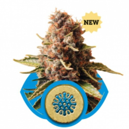 Euphoria CBD / FEM 3er / Royal Queen Seeds