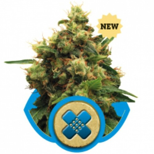 Painkiller XL CBD / FEM 3er / Royal Queen Seeds