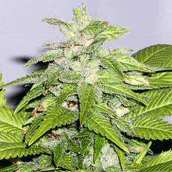 Early Riser / REG 10er / Sagarmatha Seeds