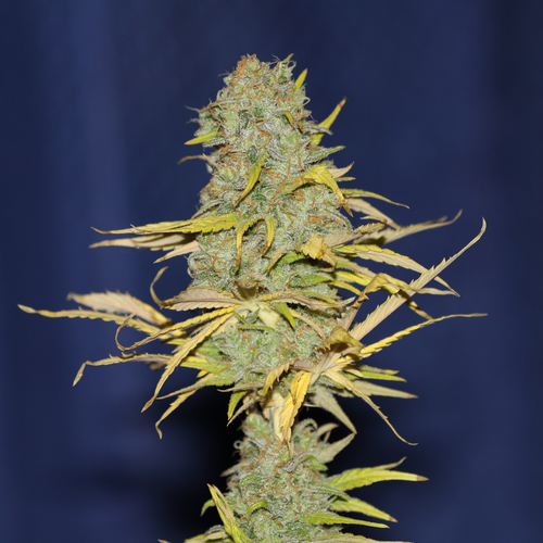 Power Africa FAST / FEM 3er / Seedsman