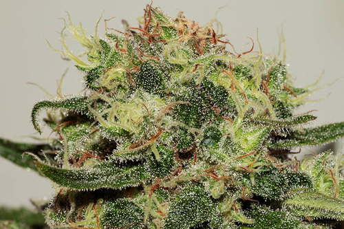 Seedsman CBD Critical Mass / FEM 5er / Seedsman