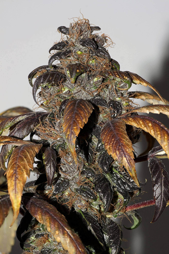 Purple Bud / REG 10er / Seedsman