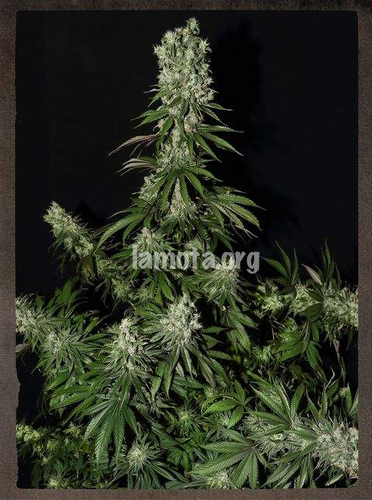 White Strawberry Skunk / FEM 3er / Strain Hunters...