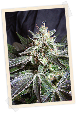 Black Jack FAST Version / FEM 3er / Sweet Seeds