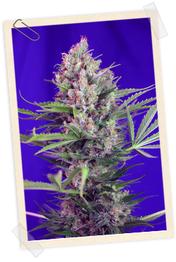 Cream Mandarine FAST Version / FEM 3er / Sweet Seeds