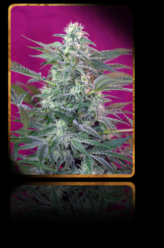 Big Foot / FEM 3er / Sweet Seeds