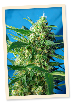 Ice Cool / FEM 3er / Sweet Seeds