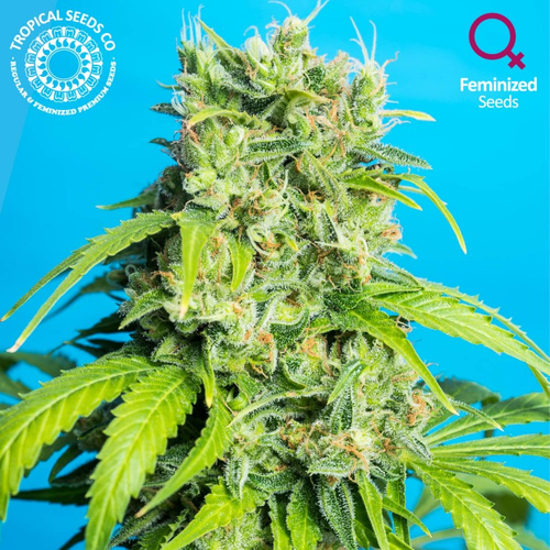 Heavens Gate CBD / FEM 10er / Tropical Seeds