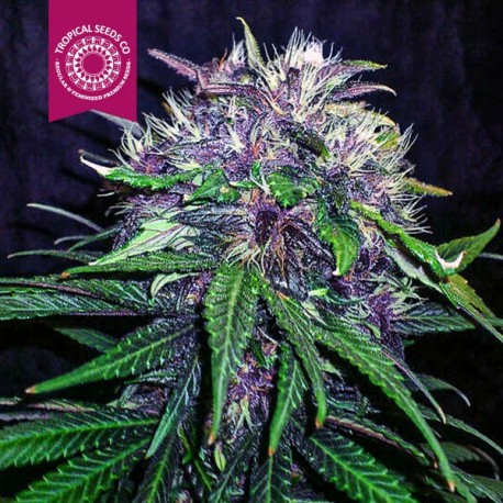 Red Afro / FEM 5er / Tropical Seeds