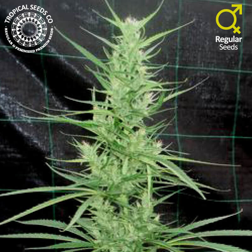 Zambian / REG 5er / Tropical Seeds