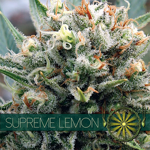 Supreme Lemon / FEM 5er / Vision Seeds