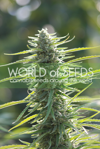 Colombian Gold / FEM 3er / World of Seeds