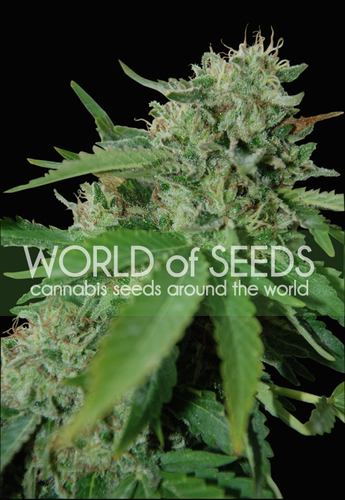 Brazil Amazonia / FEM 7er / World of Seeds