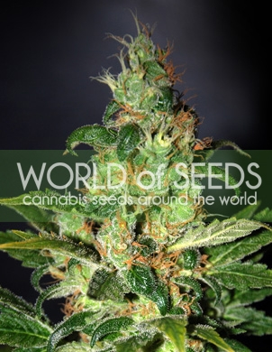 Chronic Haze / FEM 3er / World of Seeds