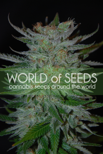 New York 47 / FEM 12er / World of Seeds