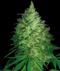 S. African Kwazulu / FEM 3er / World of Seeds