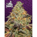 Blue Kush Berry (Chongs Choice) - fem. - 3 Samen