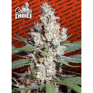 L.A. Amnesia (Chongs Choice) / FEM 3er / Paradise Seeds